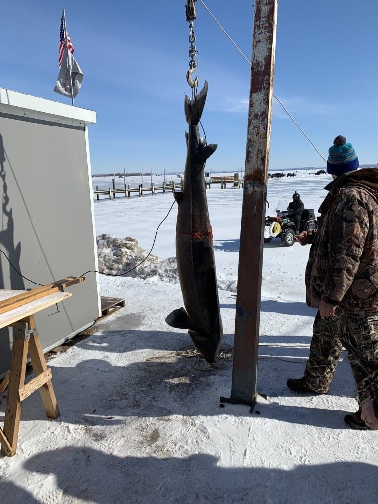The History of the 171 Pound Sturgeon – Once the largest Sturgeon ever recorded on the Winnebago System